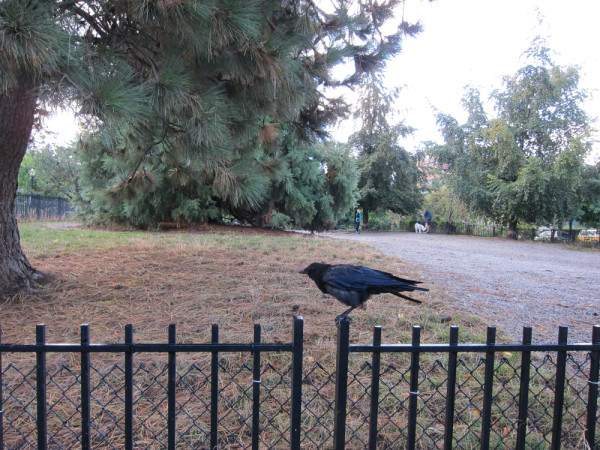 02 crow on fence